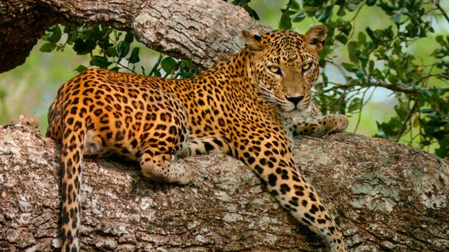 The Leopard Boy Of India