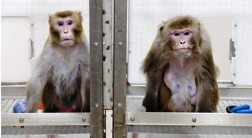 Monkey Drug Trials Of 1969